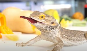 Bearded Dragons Eat in the Wild
