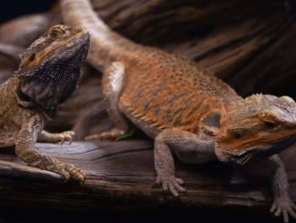 What Kind Of Substrate For Bearded Dragons