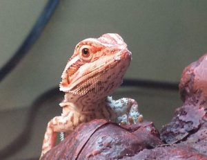 best calcium supplement for bearded dragons