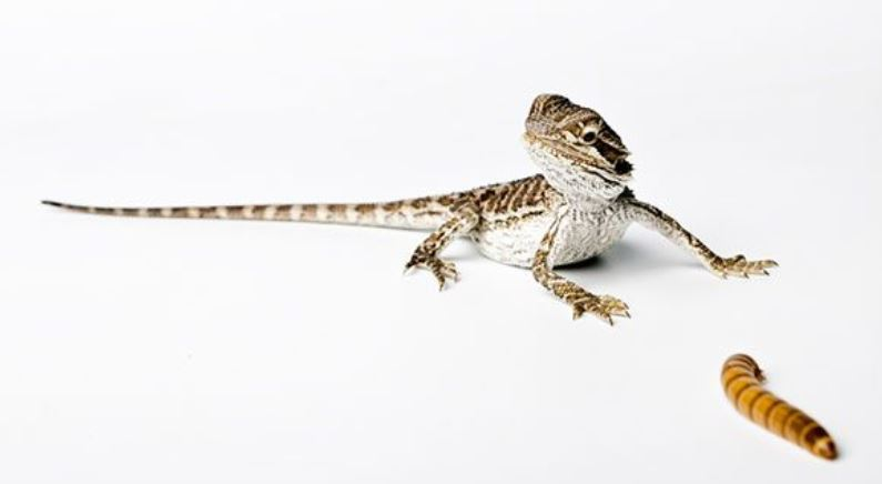 best food for baby bearded dragon