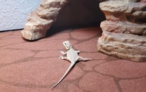 best substrate bearded dragon