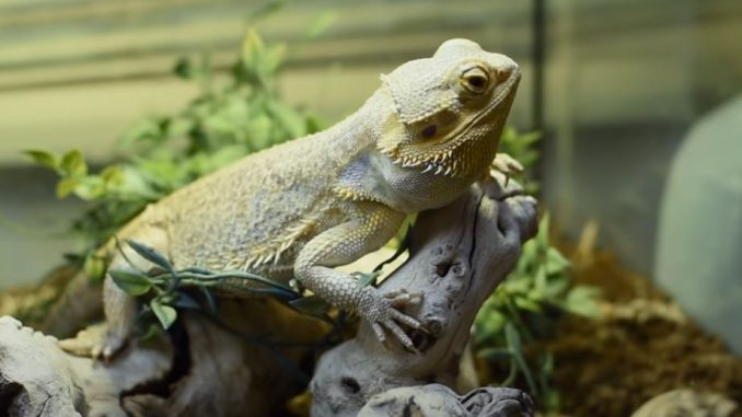 best substrate for baby bearded dragons
