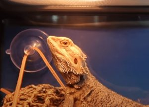 good insects for bearded dragons