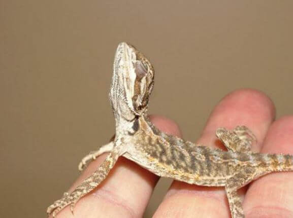 Atadenovirus Bearded Dragon