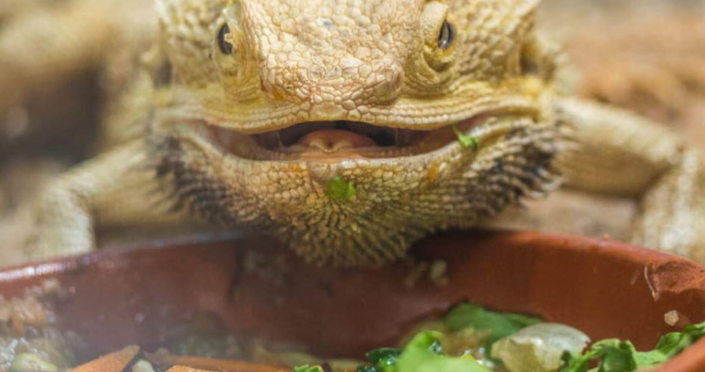 Best live food for bearded dragon