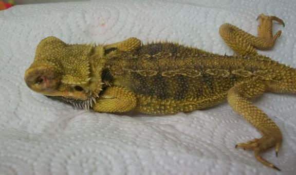 Bowel Infection In Reptiles
