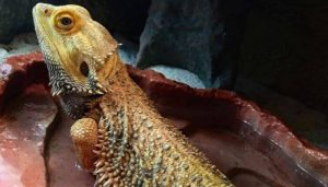 How Do Bearded Dragons Drink