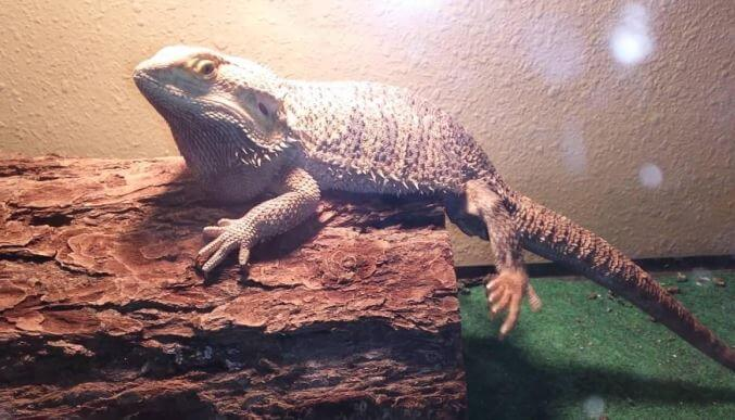 Paralyzed Bearded Dragon
