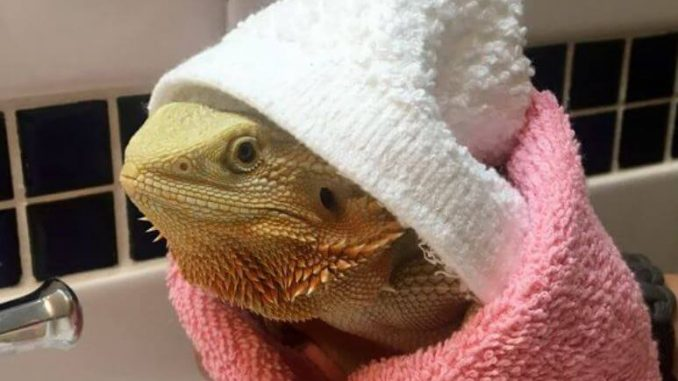 Signs Of An Unhealthy Bearded Dragon