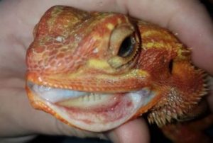 bearded dragon mouth rot treatment