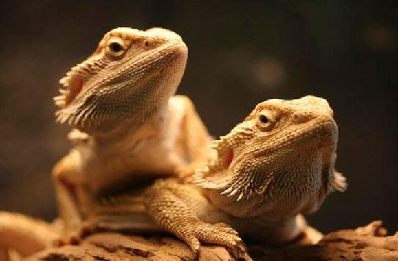 bearded dragons live together