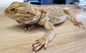 signs of an unhealthy baby bearded dragon