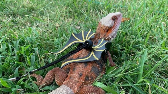accessories for bearded dragon