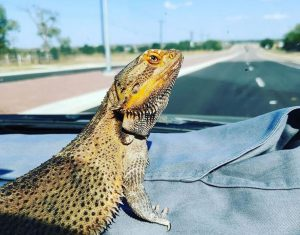 bearded dragon accessories pack