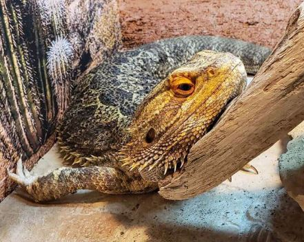 bearded dragon is not eating