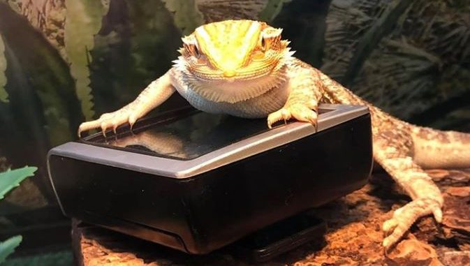 best thermometer for bearded dragon
