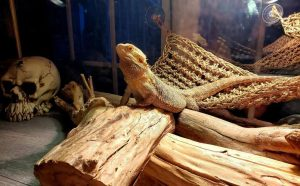 cool bearded dragon accessories