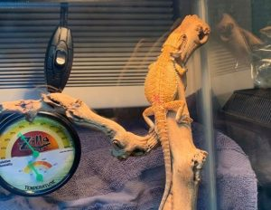 digital thermometer for bearded dragon