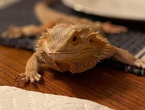 how to care for bearded dragon eggs without an incubator