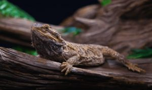 Humidity Level For Bearded Dragons