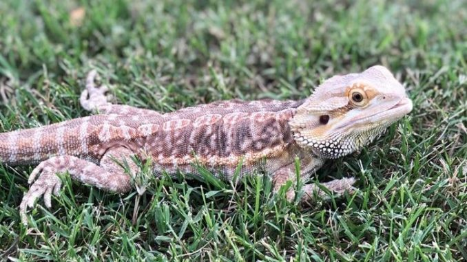 Signs of Mbd In Bearded Dragons