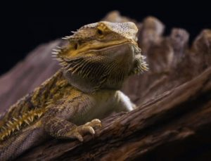 bearded dragon heat lamp wattage