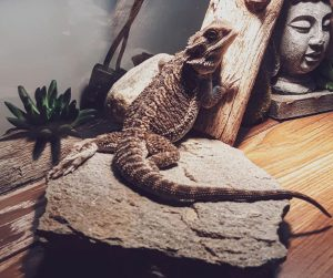 bearded dragon without heat lamp