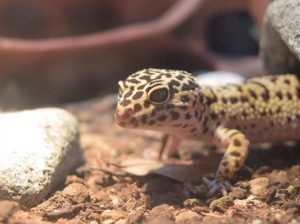 best loose substrate for leopard geckos