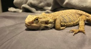 how to prevent mbd in bearded dragons