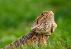 proper humidity for bearded dragon