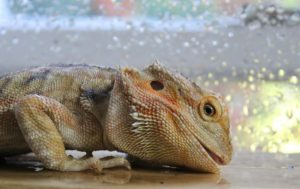 temp and humidity for bearded dragon
