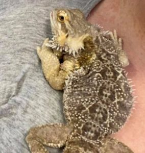 treating mbd in bearded dragons
