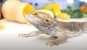 Can Bearded Dragon Eat PlumS
