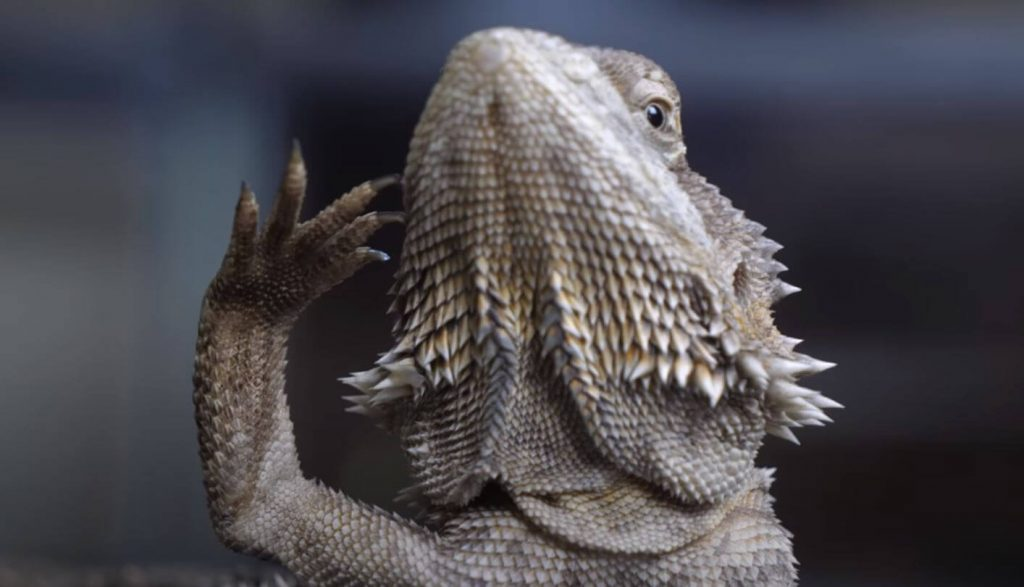 Bearded Dragon Death Signs