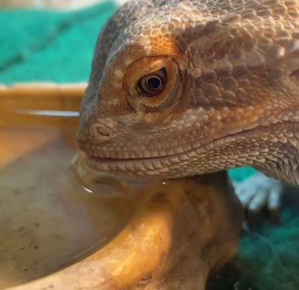 Bearded Dragon Go Without Water