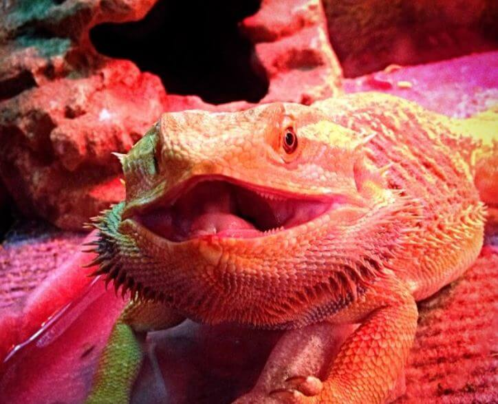 Bearded Dragon Mouth Open Under Light