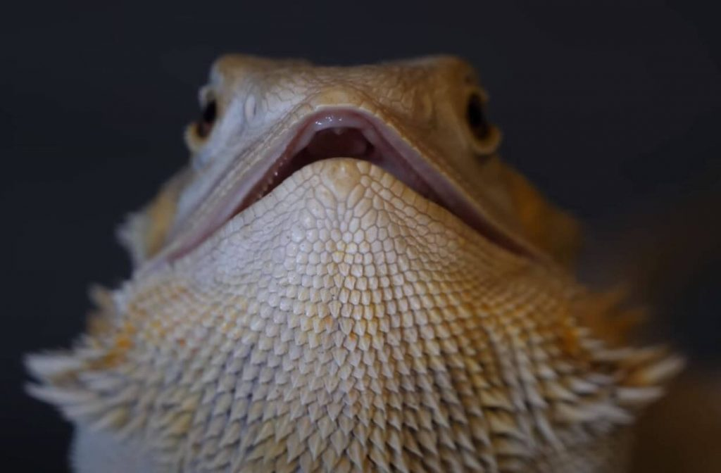Bearded Dragon Mouth Open Slightly