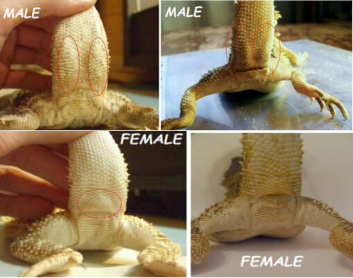 Bearded Dragons Male And Female