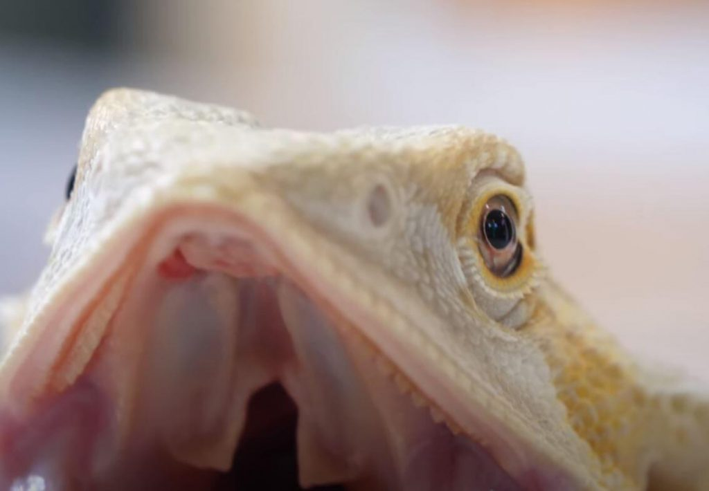 Bearded Dragons Open Mouth