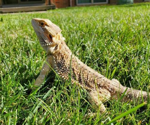 Beardie In Summer