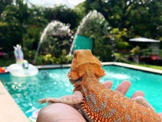 How Long Can A Bearded Dragon Go Without Water