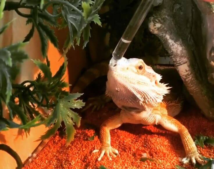 How Many Days Can Bearded Dragons Go Without Water