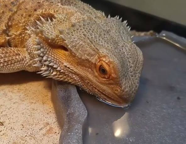 How Many Days Can a Bearded Dragon Go Without Water