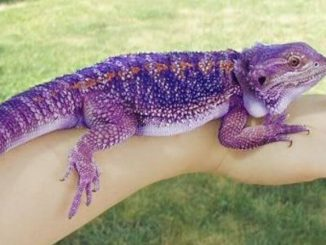 How To Pick Up A Bearded Dragon