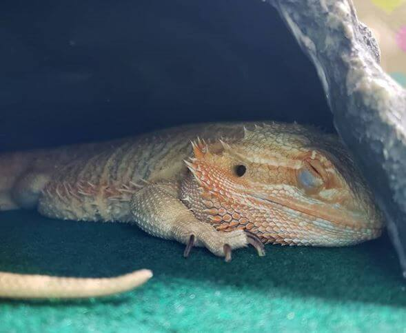 Is My Bearded Dragon Dead Or Sleeping