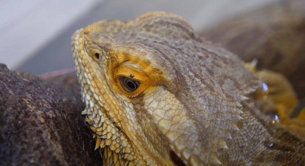 Signs Of Bearded Dragon Brumation