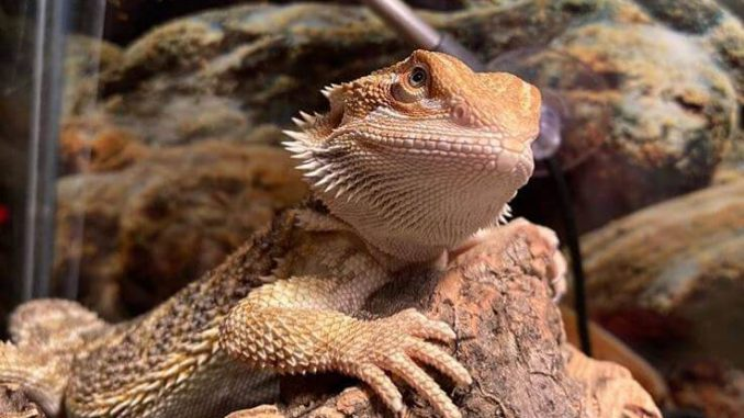 Why Is My Bearded Dragon Bobbing Her Head