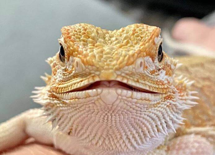 beardie head
