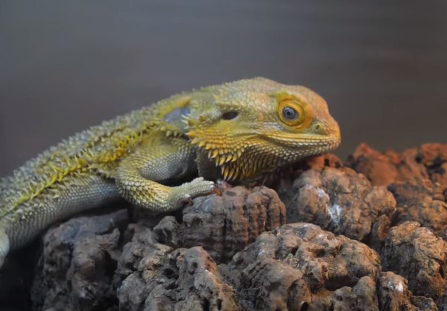 basking rock for beardie