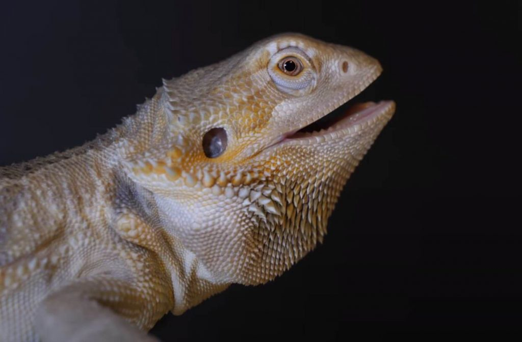 beardie mouth